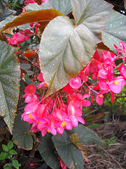 Angel Wing Begonia with Spider Web