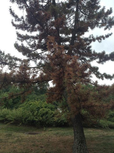 ailing_tree